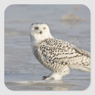 Snowy owl standing on ice, a mouse's tail square sticker