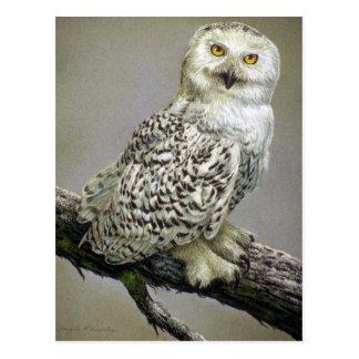 Snowy Owl study Postcard