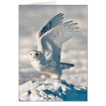 Snowy Owl taking off from snow Card