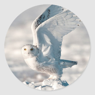 Snowy Owl taking off from snow Classic Round Sticker