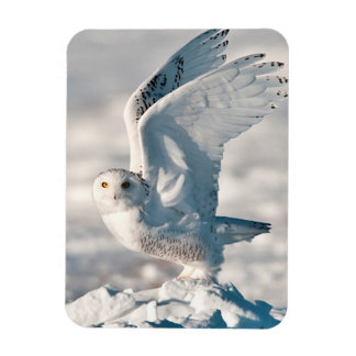 Snowy Owl taking off from snow Magnet