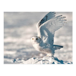Snowy Owl taking off from snow Postcard