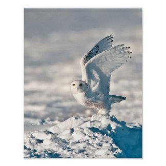 Snowy Owl taking off from snow Poster