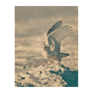 Snowy Owl taking off from snow Wood Canvas