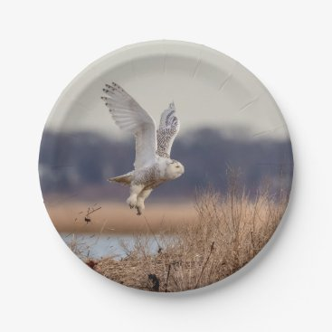 Snowy owl taking off paper plate