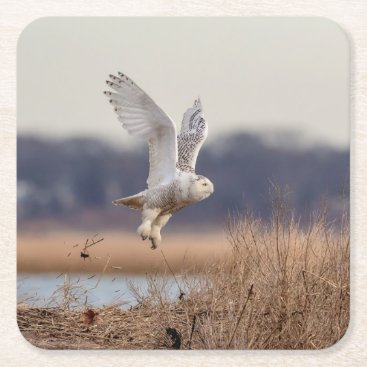 Snowy owl taking off square paper coaster