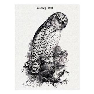 Snowy Owl Vintage Bird Illustration Postcard