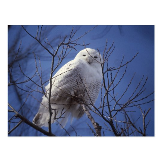 Snowy Owl - White Bird against a Sapphire Blue Sky Postcard