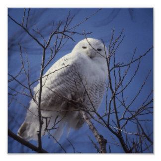 Snowy Owl - White Bird against a Sapphire Blue Sky Poster