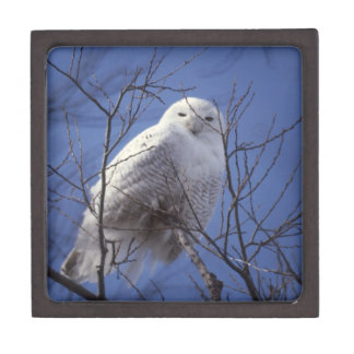 Snowy Owl - White Bird against a Sapphire Blue Sky Premium Jewelry Boxes