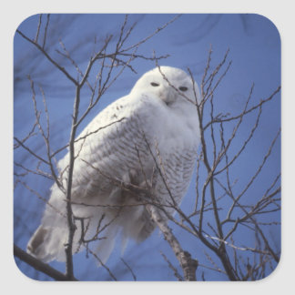 Snowy Owl - White Bird against a Sapphire Blue Sky Square Sticker