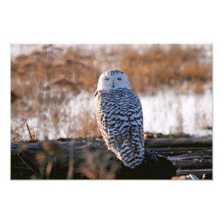 Snowy Owl Winking Photographic Print