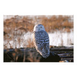 Snowy Owl Winking Photographic Print