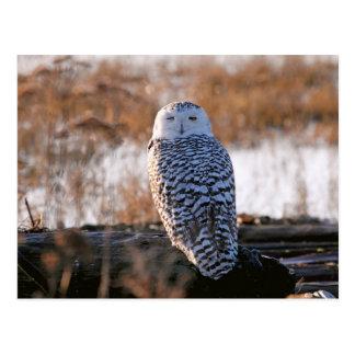 Snowy Owl Winking Postcard
