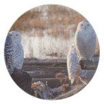 Snowy Owls Photo Dinner Plates