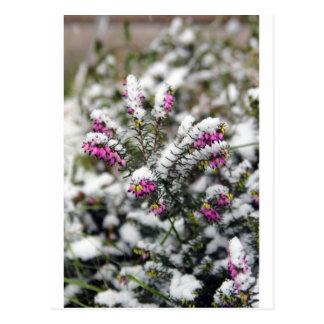 Snowy Phlox Postcard