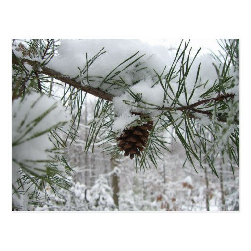 Snowy Pine Branch Postcard