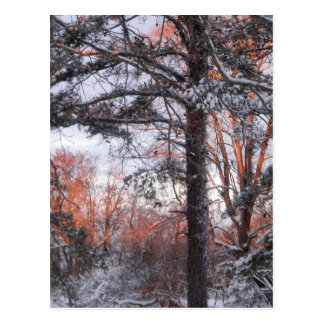 Snowy Sunrise Winter Snow Pine Tree Photo Post Cards