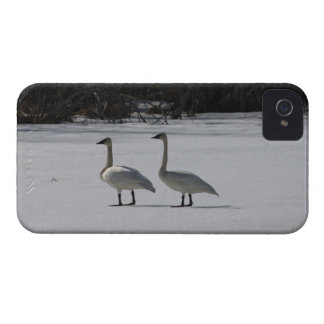 Snowy Trumpeter Swans iPhone 4 Case-Mate Case