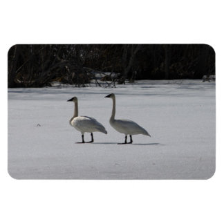 Snowy Trumpeter Swans Magnets