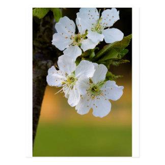 Snowy White Spring Cherry Blossoms Postcard