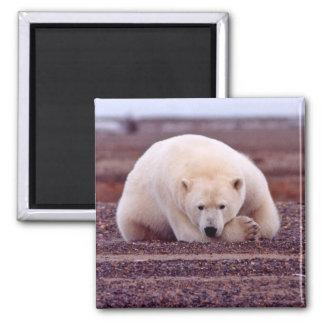 Snuggled Up Polar Bear Magnet