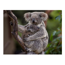 Snuggling Koala Bears Postcard
