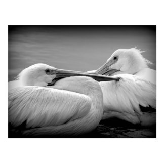 Snuggly Pelicans 2 Postcard