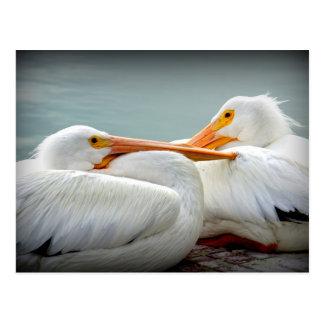 Snuggly Pelicans Postcard