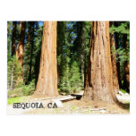 So Beautiful Sequoia Postcard! Postcard