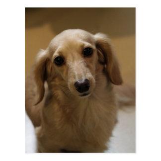 So Cute Dachschund Puppy Postcard
