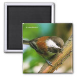 So Cute, So Curious: A Chestnut-Backed Chickadee 2 Inch Square Magnet