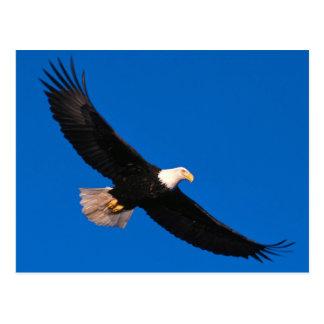 SOA ring Sea Eagle (Haliaeetus leucocephalus) Postcard