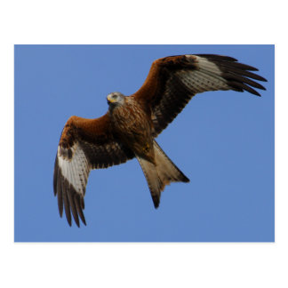 Soaring Red Kite Postcard