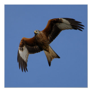 Soaring Red Kite Print