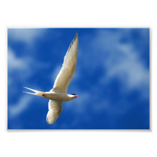 Soaring Sea Gull Photo Print