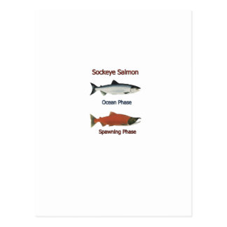 Sockeye Salmon phases Postcard