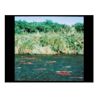 Sockeye Salmon Postcards