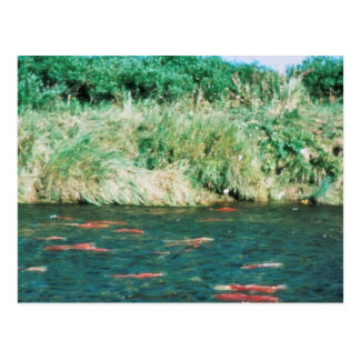 Sockeye Salmon Post Card
