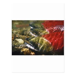 Sockeye Salmon Postcard