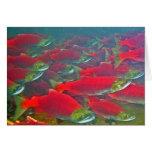 Sockeye Salmon Spawning Run Greeting Card