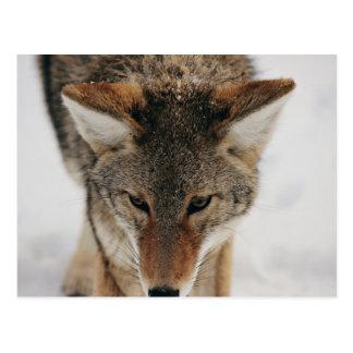 Soft but dangerous coyote postcard