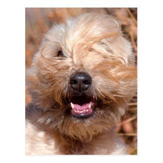 Soft Coated Wheaten Terrier portrait Postcard
