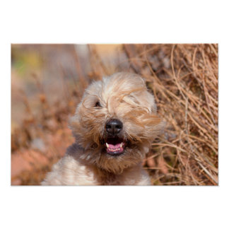 Soft Coated Wheaten Terrier portrait Print