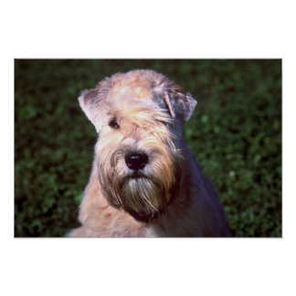 Soft-coated Wheaten Terrier Poster