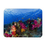 Soft corals on shallow reef, Fiji Magnet