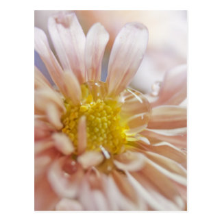 Soft Flower and Water Drop Photograph Postcard