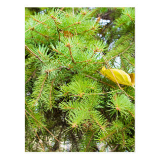 Soft image of a green fir branches with needles postcard