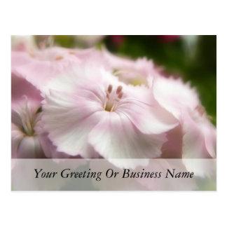 Soft Pink Dianthus Barbatus Postcard