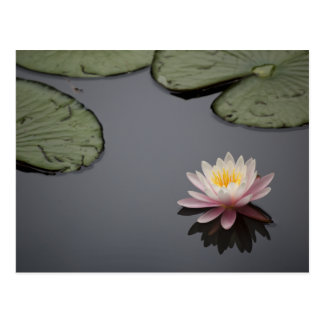 Soft Pink Water Lily Flower Postcard
